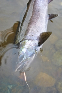 Black blade/copper body spinner made by trophy tackle is an awesome bet for pressured, spooky coho in low clear water