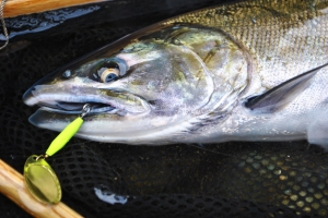 Small coho on a chartreuse body/gold blade trophy tackle spinner