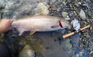 A beautiful, mid August, Vedder River red chinook
