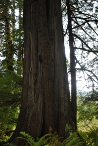 A massive cedar tree with a 40 foot diameter at breast height!
