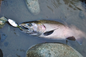 This late season, November coho fell victim to a jigged 2/5 R&B spoon